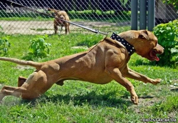 американские породы собак с фотографиями