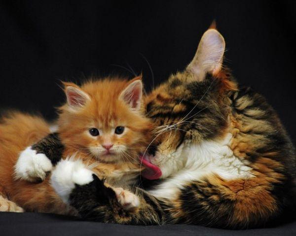 Токсоплазмоз от домашней кошки