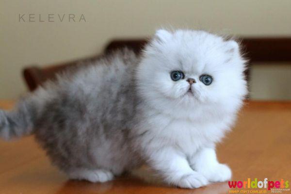 фото шиншиллы котята